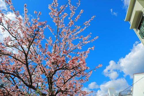 熱海桜が咲いています♪