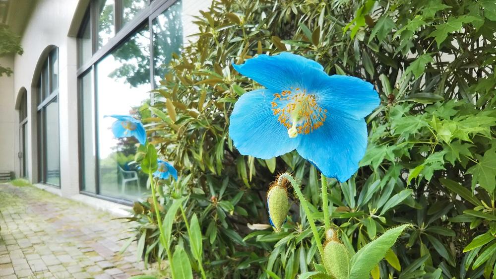 ヒマラヤの青いケシ(ブルー・ポピー)咲き始めました!